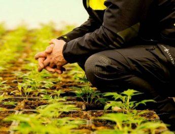kwekerijopgepakt-cannabis-P2G