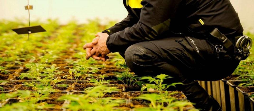 Wat als THC uit Cannabis kankercellen dood ? (video)